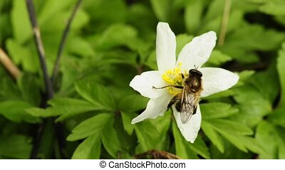 Anemone with bee - Anemone, Anemone nemorosa with bee