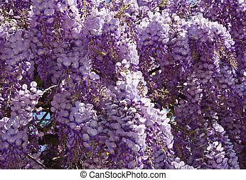 wistaria background - beautiful lilac wistaria flower...