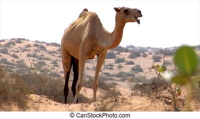 wild dromedary walk to camera - 10248 wild dromedary walk to...