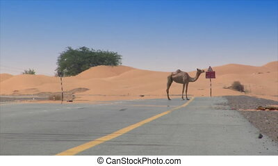 car camel speed pass heat haze - 10291 DUBAI - SEPTEMBER 9:...