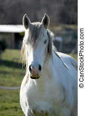 White horse - White Horse looking at the camera