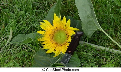 unripe sunflower knife - blur focus of cut unripe sunflower...