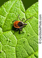 Tick on leaf Ixodes ricinus - Castor bean tick on the leaf...