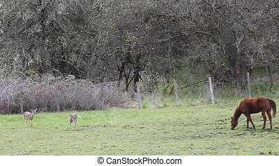 Horse and Whitetail Deer - This horse is grazing and the...