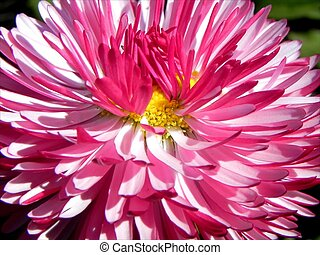 Red bloom - Red flower with many petals blooming on the...