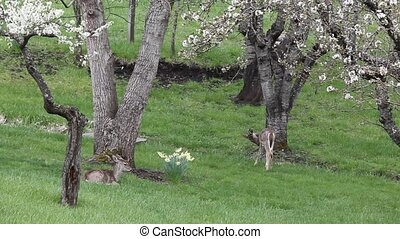Whitetail Twins Resting and Eating - One of the twins is...