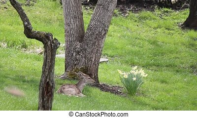 Resting Whitetail Deer - This is one of the twins. Her...
