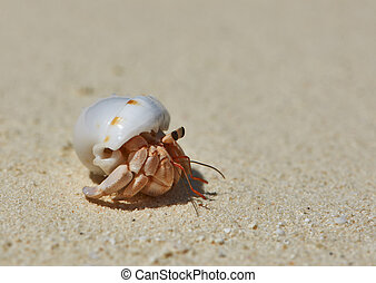 Hermit Crab on a beach - Hermit crab on a beach at Maldives
