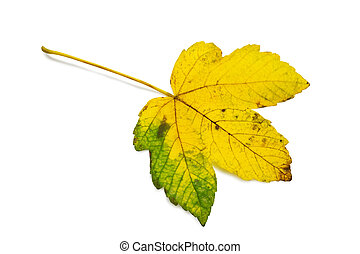 leaf - green and yellow leaf isolated