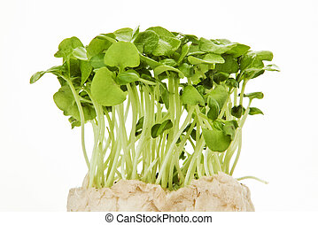 Alfalfa sprout - Fresh greeen alfalfa sprouts against white...