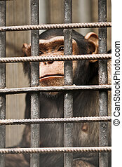 chimpanzee in cage close up