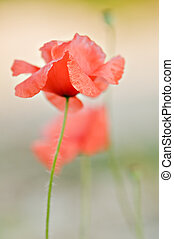 poppy - red poppy isolated on green