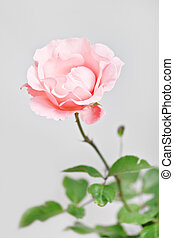 rose - pink rose on grey background