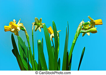 narcissus flower isolated on blue