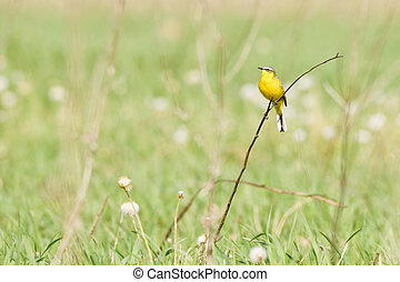 wagtail - Yellow wagtail sitting on twig