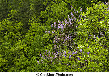 Princess Tree Blooming, Pisgah NF, Western NC, USA -...