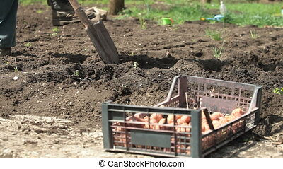 Gardener Planting Potatoes on Smallholder Farm