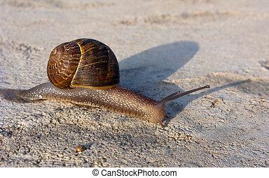 Garden Land Snail