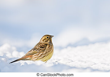 yellowhammer on snow close up