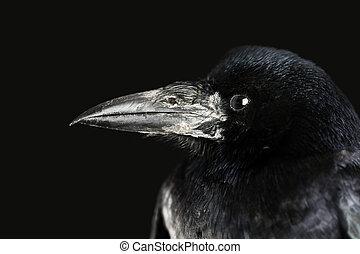 crow - black crow portrait close up