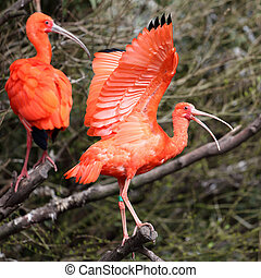 Scarlet Ibis, Eudocimus ruber - Details of a perching...