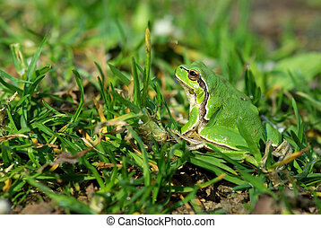 European tree frog - Hyla arborea Common or European tree...