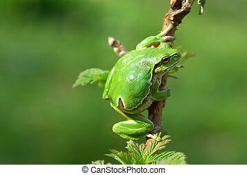 European tree frog. - Hyla arborea. Common or European tree...