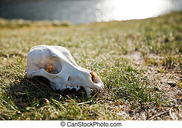 scull - wolf scull on grass near lake