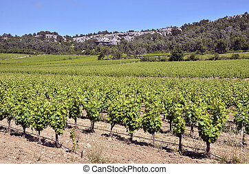 Vine near of Narbonne in France - Vine near of Narbonne in...