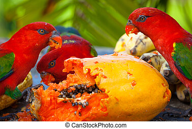 Rainbow lorikeets in a manger requests food. Mango.