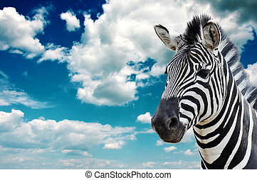 Zebra in the wild, against the blue sky with clouds.