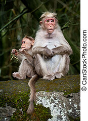 Monkey family. Mother and baby in bamboo forest. South India
