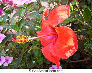 tropicais, flor, vermelho,  nature-scenery