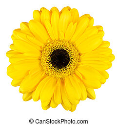 Beautiful Yellow Gerbera Flower Macro Isolated on White -...