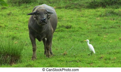 water buffalo ox with white bird 02