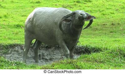 agressive water buffalo comes close