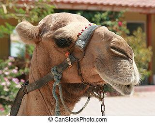 Turkish camel in team close-up