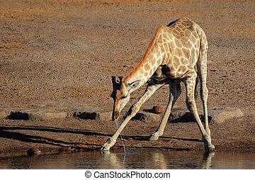 Giraffe drinking water - Giraffe Giraffa camelopardalis...