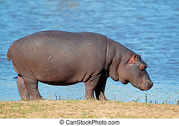 Hippopotamus Hippopotamus amphibius, South Africa
