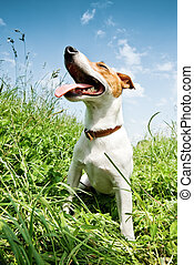 jack russel in big grass