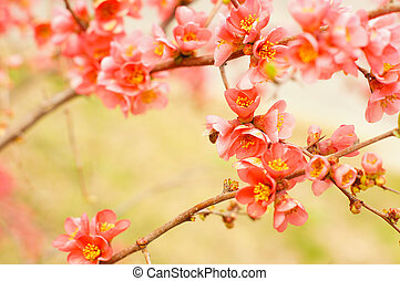 Peach blooming - close up of peach blooming branch