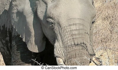 elephant eating close up