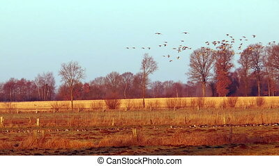 wild geese elegant flight - elegant flight of large swarm of...