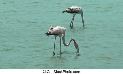 american flamingos feeding at salt flat in curacao