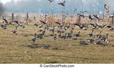 swarm of wild geese landing on meadow