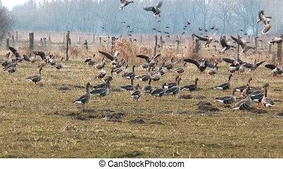 swarm of wild geese landing