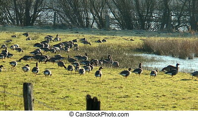 wild geese on meadow feeding - group of wild geese feeding...
