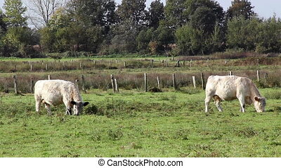 White galloway cows grazing