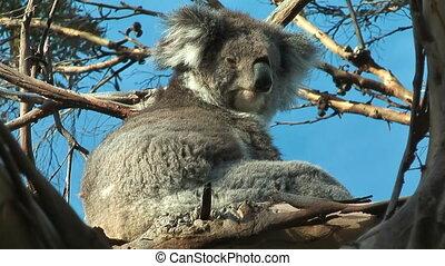 Koala releaxing - Koala minimal moving sitting in a tree