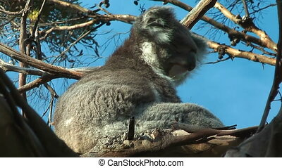 Koala in motion - Koala scretching his neck
